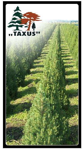 Taxus Kwidzyn